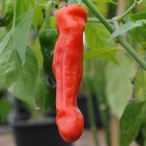 sq_chilli_pepper_peter_pepper_007