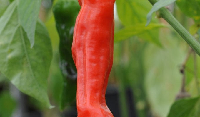 sq_chilli_pepper_peter_pepper_007